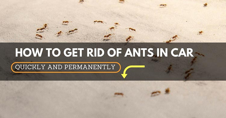 Ants In Car >> How To Get Rid Of Ants In Car An Effective Guide For A Quick And